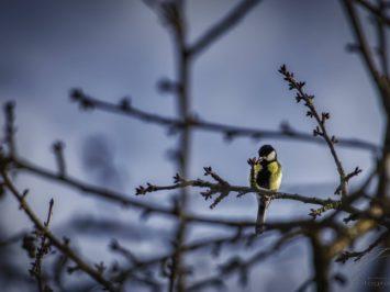 A Big Tit sitting on a branch