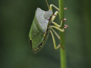 Macro of a green shield bug on grass