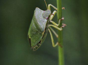 Macro of a green shield bug on grass