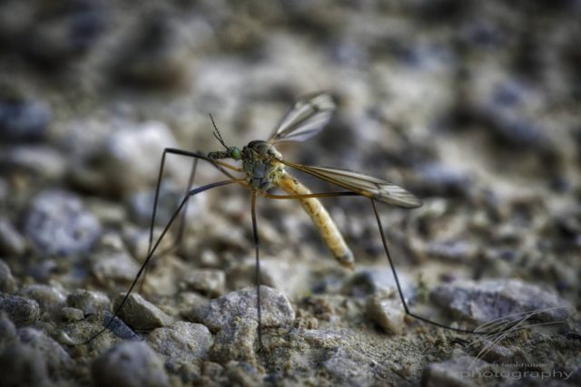 Macro profile of a mosquito on the ground