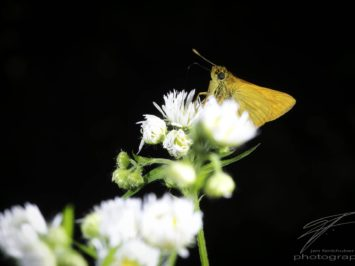 Macro of an orange Skipper Butterfly sitting on white flowers