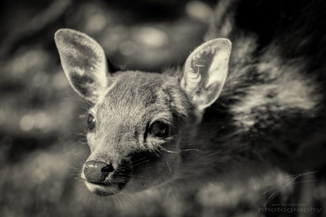 Have you seen Friday? - A young deer in the Wildlife Park Golday, Switzerland