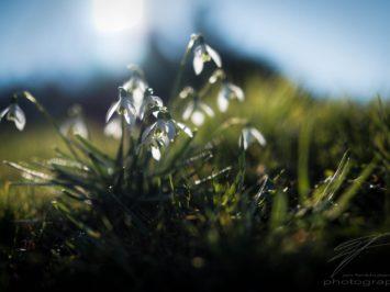 Snowdrops in the Spring Sun