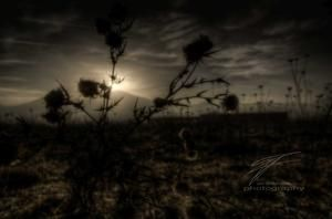 Thistle in the Twilight