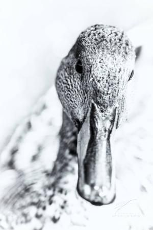 Portrait of a Mallard