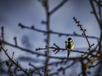 A Big Tit sitting on a branch