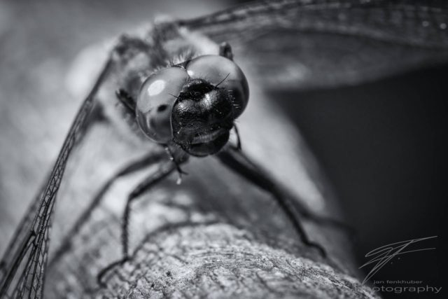Macro of a dragonfly - black&white