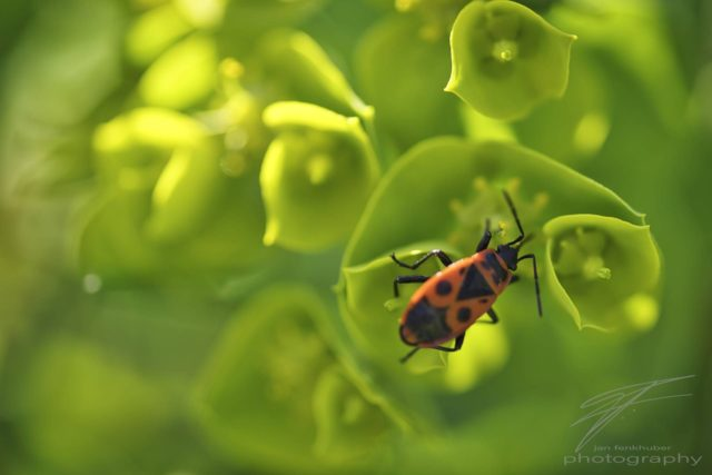 Macro of a Japanese red Beetle on green leafes