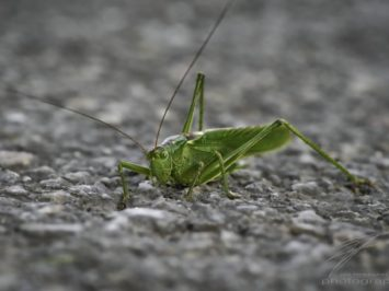 Macro of a giant grasshopper on the road