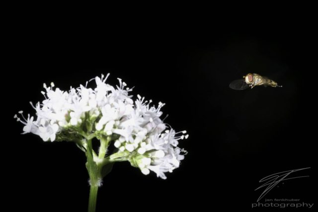 Macro of a fly in the air