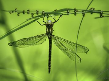 dragonfly - 20190707-ILCE-7RM3-155217_156935.jpg