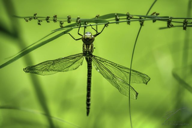 Hangin' on - A yong dragonfly hanging on grass