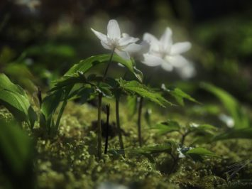In the Spring Sun - Anemone Nemorosa