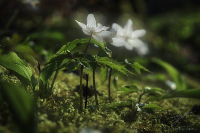 In the Spring Sun - Anemone Nemorosa