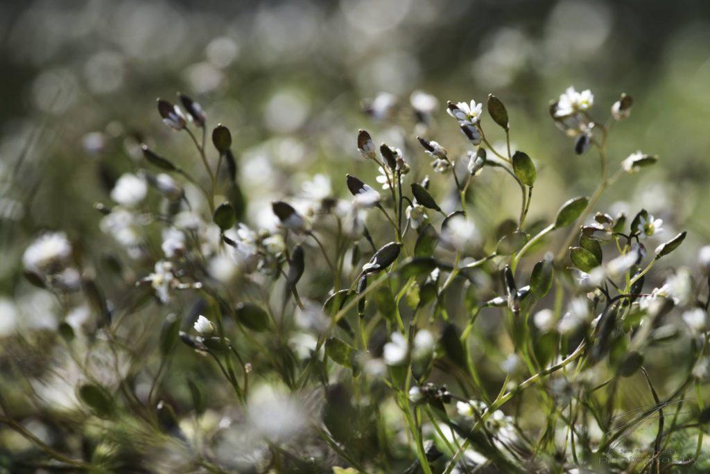 Filigree - Tiny white flowers in spring